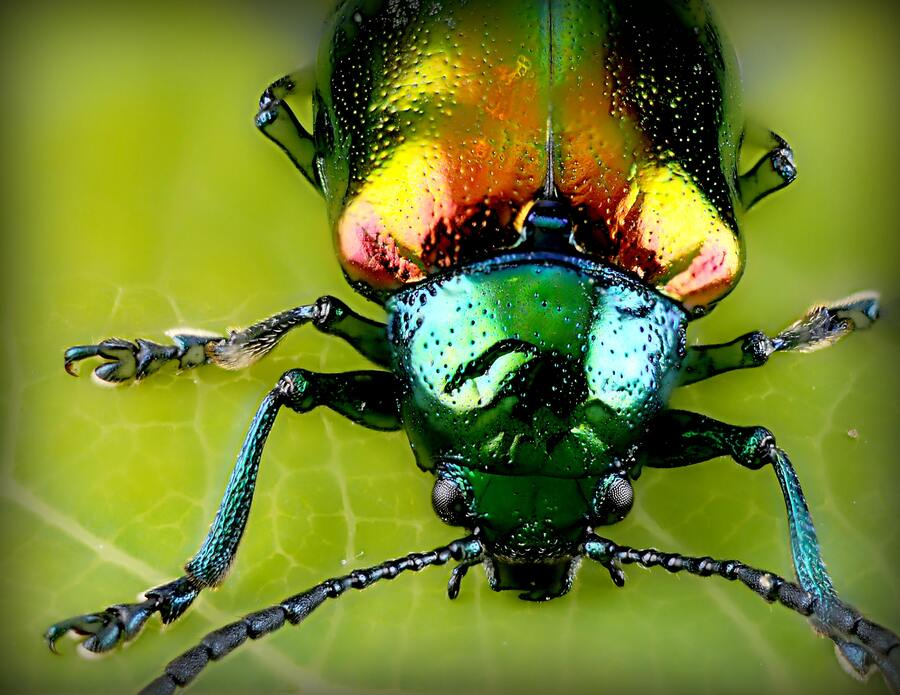 Beetle close up